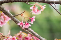 Pink Sakura flower. Blooming in Thailand Stock Photo