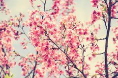 Pink Sakura flower blooming in vintage tone Royalty Free Stock Photo