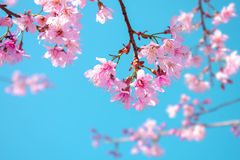Pink Sakura flower on blue sky background Stock Photos