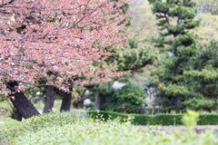 Pink Sakura flower or cherry blossoms. Stock Images