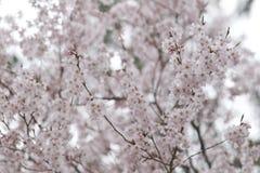Pink Sakura flower or cherry blossoms. Stock Photo