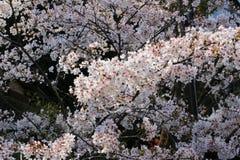 Pink Sakura flower or cherry blossoms Stock Image
