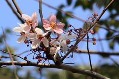 Pink sakura flower Stock Photos