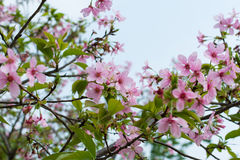 Pink sakura flower Stock Photography