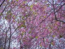 Pink Sakura flower in thailand, Wild Himalayan Cherry Stock Photos