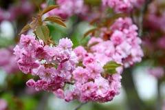 Pink sakura blossom Stock Photos