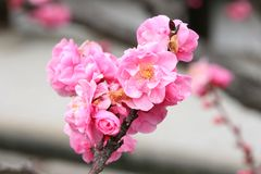 Pink sakura flowers Royalty Free Stock Photo