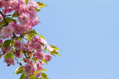 Pink Sakura flowers. Abstract spring blossom background. Springtime. Banner background with copy space stock images