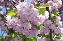 Pink sakura flowers Stock Photography