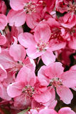 Pink sakura flowers. On a black background Royalty Free Stock Image