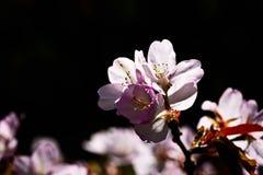 Pink sakura flowers black background Royalty Free Stock Image