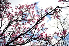 Pink sakura flowers blooming Royalty Free Stock Images