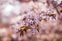 pink sakura flowers Royalty Free Stock Photos