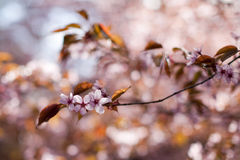 Pink sakura flowers Royalty Free Stock Images