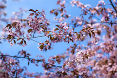 Pink sakura flowers Stock Photography