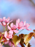 Pink Sakura Flowers Stock Photo