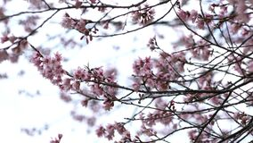 Pink sakura flowers blooming at park.  stock video