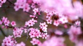 Pink sakura flowers in blossom, detail stock image