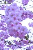 Pink sakura flowers on a branch stock photos