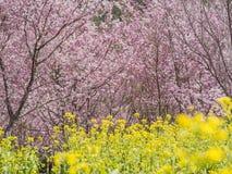 Pink Sakura flowers (cherry) blossom in Taiwan. Super beautiful pink Sakura flowers (cherry) blossom in Taiwan stock image