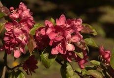 Pink sakura flowers Royalty Free Stock Photo