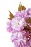 Pink sakura flowers Royalty Free Stock Image