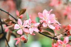Pink sakura flowers close-up. Pink sakura flowers on a pink background close-up Royalty Free Stock Photos