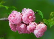 Pink Sakura flowers close-up Royalty Free Stock Image