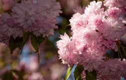 Sakura flower blossom in garden at springtime. Pink Sakura flowers closeup on a branch. beautiful blurred background of blossoming garden in springtime Royalty Free Stock Photography