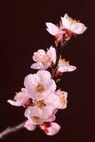 Pink sakura flowers Stock Image