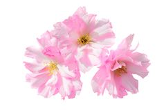 Pink sakura flowers isolated on white Royalty Free Stock Photography