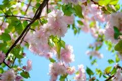 Pink Sakura Flowers. Spring Background Stock Images