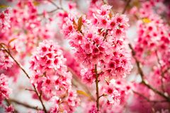 Pink sakura flowers of thailand blooming in the winter with sele Royalty Free Stock Images