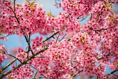 Pink sakura flowers of thailand blooming in the winter with sele Royalty Free Stock Photo