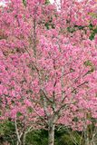 Pink sakura flowers of thailand blooming in the winter with sele Stock Photos