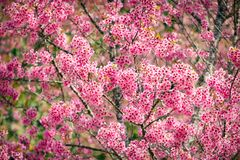 Pink sakura flowers of thailand blooming in the winter with sele Royalty Free Stock Photography