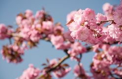 Pink sakura flowers on a twig. Lovely spring background of cherry blossom against the blue sky Stock Images