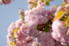 Pink sakura flowers on a twig. Lovely spring background of cherry blossom against the blue sky Royalty Free Stock Image