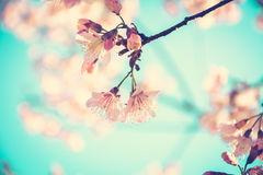 Pink Sakura flowers in vintage tone Royalty Free Stock Images