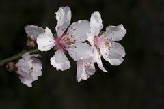 Pink Sakura, Japanese cherry blossom stock images
