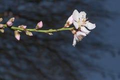 Pink Sakura, Japanese cherry blossom stock photo