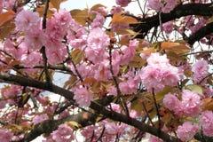 Pink sakura at Kyoto Japan Royalty Free Stock Photography