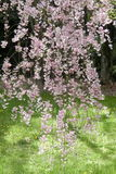 Pink sakura at Kyoto Japan Royalty Free Stock Photos