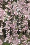 Pink sakura at Kyoto Japan Stock Image