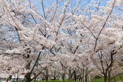 Pink sakura at Mount Tenpo Park Osaka Japan Stock Photos