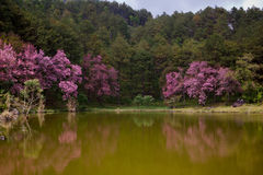 Pink sakura in northern thailand Royalty Free Stock Image