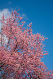 Pink sakura in northern thailand Stock Photos