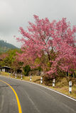 Pink sakura  in northern thailand. Royalty Free Stock Image