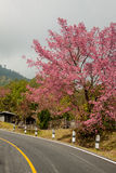 Pink sakura  in northern thailand. Stock Photo