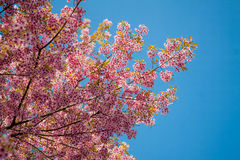 Pink sakura in northern thailand Royalty Free Stock Photo